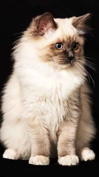 New Ragdoll Cat - Mobile Wallpaper HD Free Download –