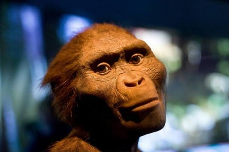 """'The Hidden Treasures of Ethiopa' exhibit at Houston Museum of Natural Science featuring a model of """"Lucy"""", Australopithecus Afarensis."""