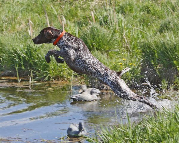 This is a German Shorthaired Pointer - we're thinking of getting one for our next puppy... they are beautifuly hyper dogs - great hunters.