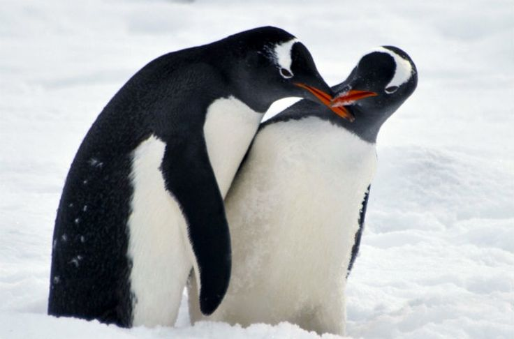 21 interesting facts about penguins that may just put a smile on your face. Most penguin species are also monogamous.