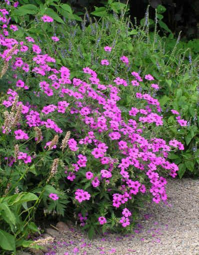 Geranium 'Patricia' AGM Lilac pink flowers with a dark centre June to September. Five lobed, green leaves. Height 70cm. Spread 45cm.