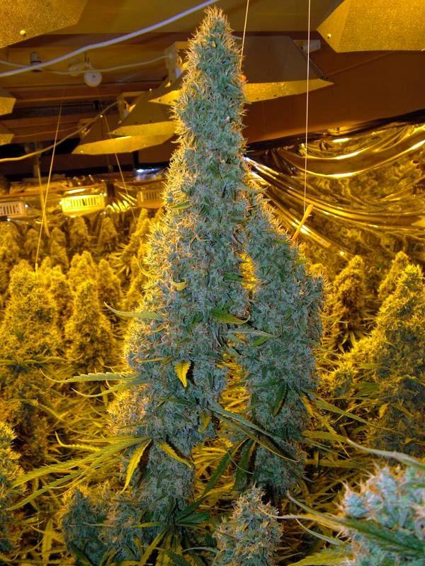 Grow Room Setup: 321 Best Growing Marijuana At Home Images On Pinterest