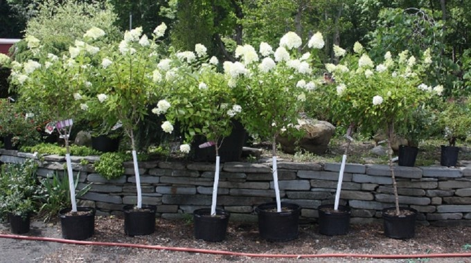Hydrangea grandiflora 'Pee Gee':  Pee Gee Hydrangea Tree Large, sometimes giant white flower heads reaching 6-18in. long turn pinkish with age. Flowers are good for for cutting and drying. Blooms on current seasons wood.