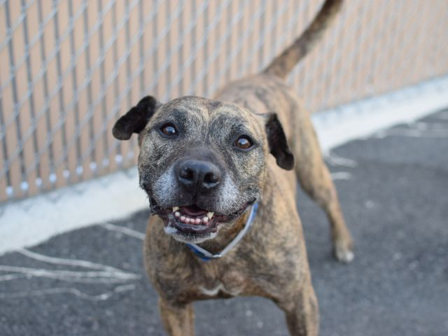 """6/9 SUPER URGENT RUSTY - A1076023 TO BE DESTROYED 06/09/16 SENIOR ALERT! Ten years old and all of a sudden, his people have """"no time"""" for him… so began Rusty's ordeal at Brooklyn ACC. According to his owner notes, Rusty lived in harmony with children, had little experience with other dogs, sees cats outside as something to chase, is friendly with all humans who come to visit, and doesn't always do well when left alone. His behavioral eval shows Rusty to be a good boy who scored a…"""