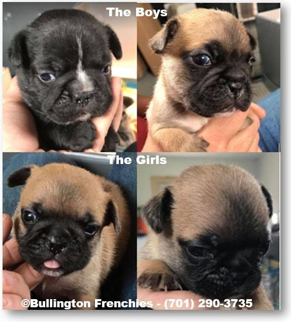 Charlie S French Bulldog Puppies Born The Last Of May 2019 There