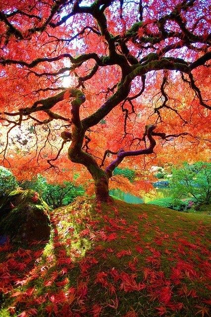 The Famous Maple - Japanese Gardens, Portland, Oregon I want to see this with my own eyes.