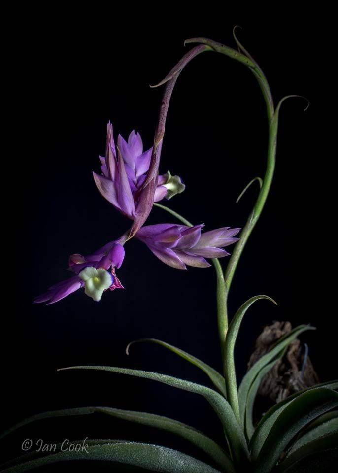 Tillandsia cacticola Photography by Ian Cook