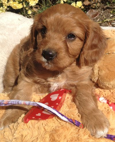 Quality cavoodle puppies for sale, colour chestnut,red
