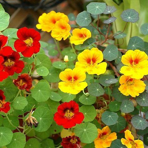 Oost-Indische kers - eetbaar en lokplant voor bladluizen. Prachtig! Lekker!