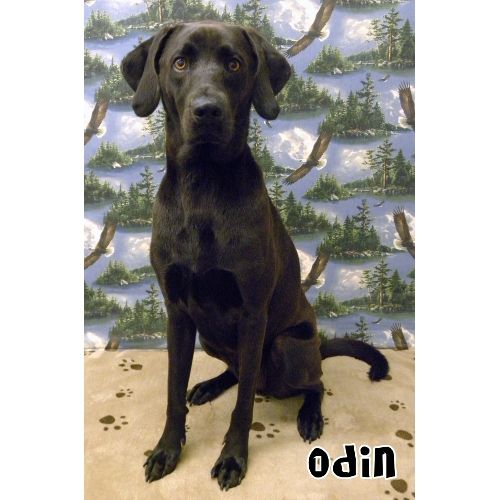 ***7/5/14 LISTED SUMTER,SC SPCA***Sumter, SC SPCA ~ My name is ODIN and I'm a 2 year old black male Lab/Hound mix. I'm housebroken, neutered, gentle, affectionate, friendly, protective, active and playful. I'm great with older children and larger dogs and I can sit, stay and lie down on command. I'm a really sweet dog!