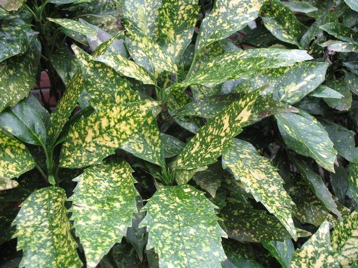 Aucuba japonica 'Variegata'  / Variegated Aucuba - OnlinePlantGuide.com 1587