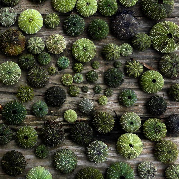 Sea Urchins, seashore, photography, spheres, nubby, green, ocean, texture, sea, Aegean, island, shades of green, wood, nature, Lesvos Greece