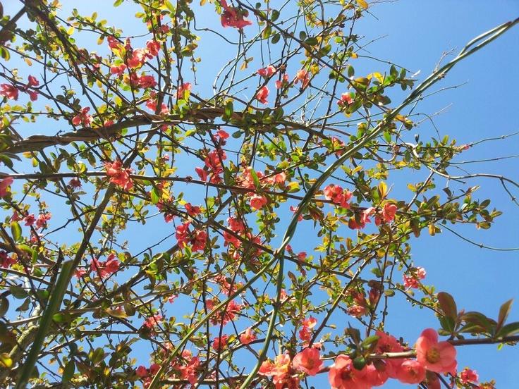 Les 25 meilleures id es de la cat gorie pommier du japon en exclusivit sur pinterest - Pommier du japon fruit ...