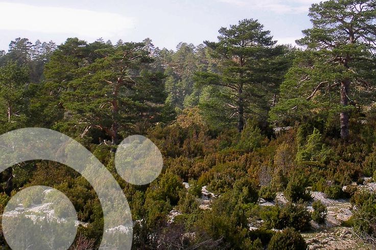 Scotch pine forests. Find all the information to plan your trip to #serrania_de_cuenca in ww.qnatur.com