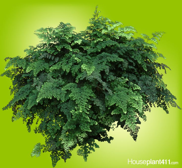 1000 images about house plants non poisonous on for Non toxic ferns