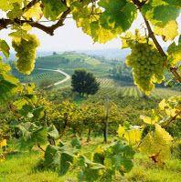 badacsony, uvas, grapes
