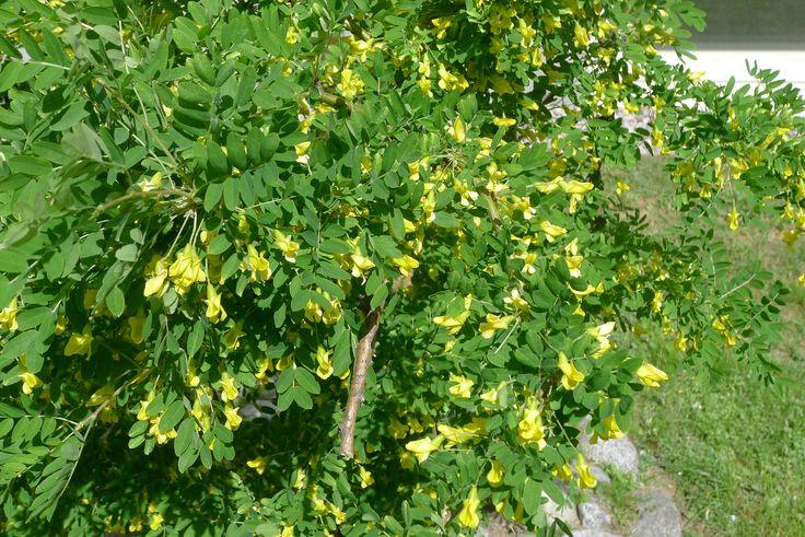 Siperianhernepensas (Caragana arborescens) - Ruusulankatu, Töölö, 29.5.2016