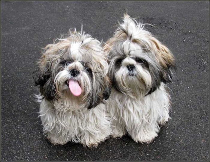 shih tzu hair care 1000 images about shih tzu on pinterest big thing 8475