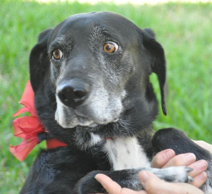 07/08/14~Priestess~ Hound  Labrador Retriever Mix • Adult • Female • Large Humane Society and Adoption Center of Rockport-Fulton Fulton, TX