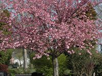Cherry Tree.  These trees can grow up to 100 pounds of fruit!