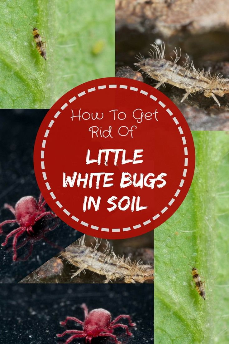How To Get Rid Of Little White Bugs In Soil Quickly And ...
