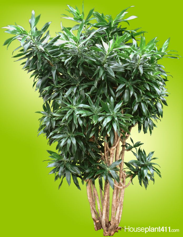 Dracaena reflexa houseplants are slow growing easy care for Easy care indoor plants