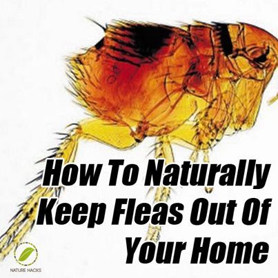 "Please Share This Page: If you are a first-time visitor, please be sure to like us on Facebook and receive our exciting and innovative tutorials on herbs and natural health topics! Image (with permission) – NatureHacks.com Fleas, as pestilent as they are, are actually fascinating creatures. One of their best known ""super powers"" is their [...]"