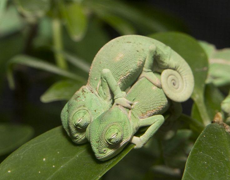 Няшные хамелеоны (11 фото)