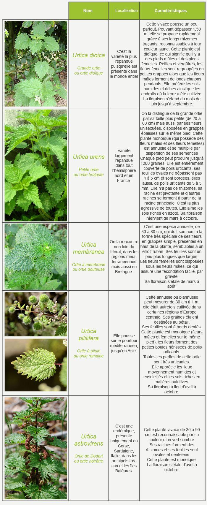Les secrets de l 39 ortie en savoir plus sur les diff rentes vari t s de cette plante site tr s - Culture de l echalote ...
