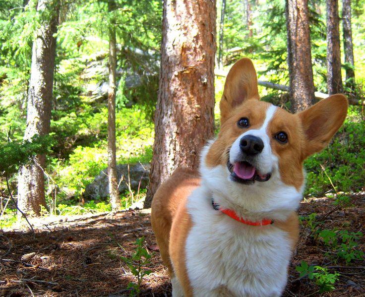 #corgi #dog