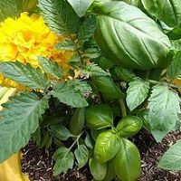 Dont leave your tomatoes hanging around defenseless. Plant a few of t…
