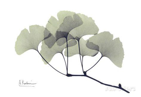 albert-koetsier-ginkgo-leaves-in-green.jpg 473×324 pixels