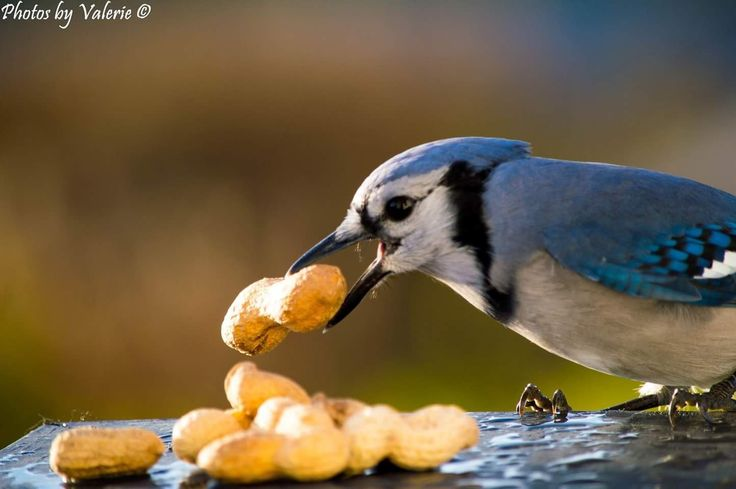 Blue Jay #birds #bluejaya