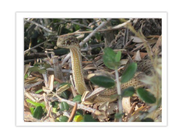 Serpiente del Delta del Ebro. Comun en la parte mas interior. De pequeño tamaño unos 40cm máximo. Ver mas en http://animals.naturaviva.info