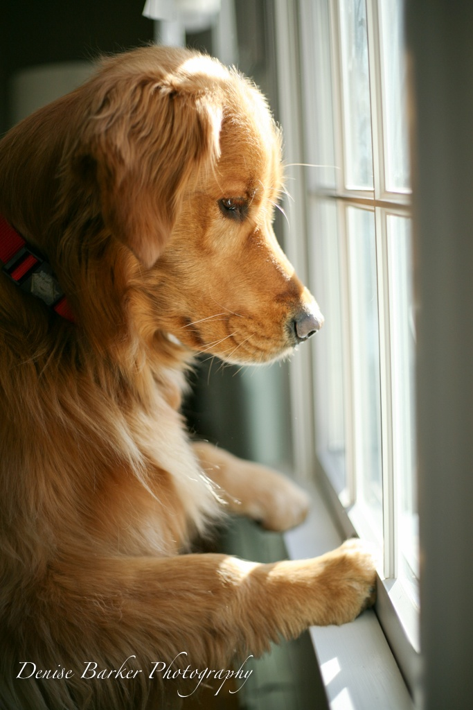 When will they be home?: Animal Pictures, Window, Animal Kingdom, Cassie Dogs, Home Golden, Dogs Puppies When, Puppies Love, Golden Lookout, Golden Retriever