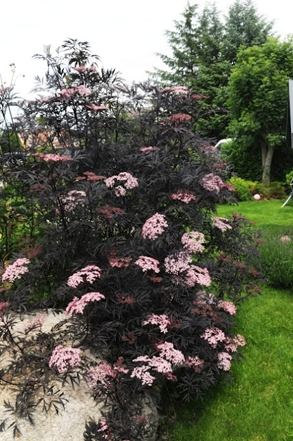 Sambucus nigra 'Black Lace' - an all-black elderberry with pink flowers.