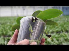 Orchidee durch Stecklinge vermehren. Die Bambusorchidee mit Erfolg – YouTube
