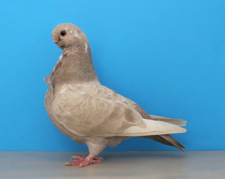 16 Best Pigeons Images On Pinterest Pigeon Backyard Chickens And