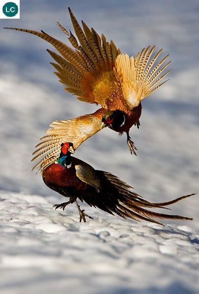 Ring-necked pheasant/Common pheasant (Phasianus colchicus)(Phasianidae) IUCN 3.1: Least Concern (LC)