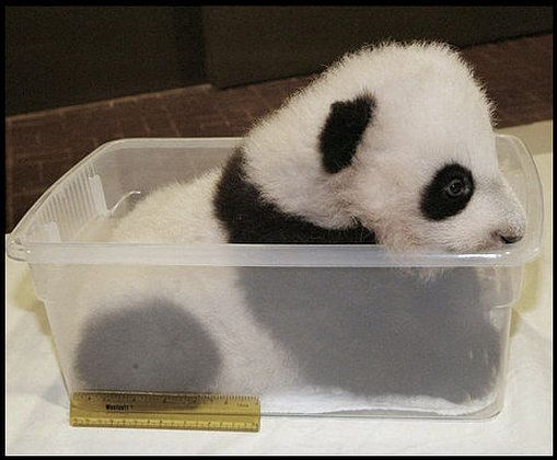 """This panda cub """"increased two Tupperware sizes"""" after his first vet exam. We wish this is what we had in our Tupperwares instead of soggy leftovers."""