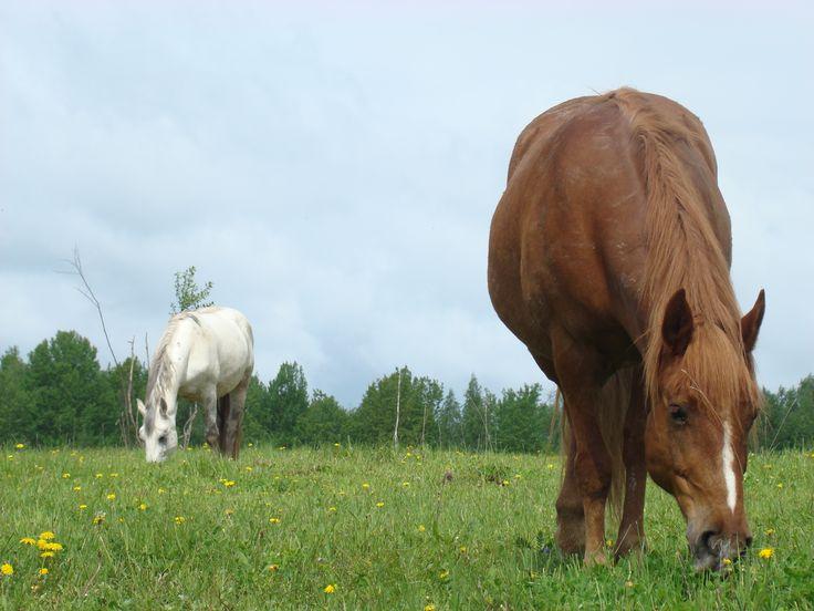 Искусство воспитания лошади. Сайт про лошадей, их обучение, тренинг, кормление и воспитание. Ожирение. Сено. Марина Красильщикова.