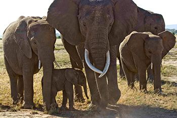 """Wonderful insights into the Amboseli EA elephant family by Amboseli Trust for Elephants' resident scientist, Dr. Vicki Fishlock. Read how Eloise had 6 sons before her first daughter, and how young male elephants like Eidan have """"no interest in babies"""" like his little sister."""