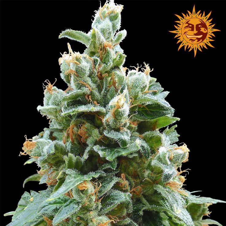 Vanilla Kush Feminised Cannabis Seeds #marijhuana