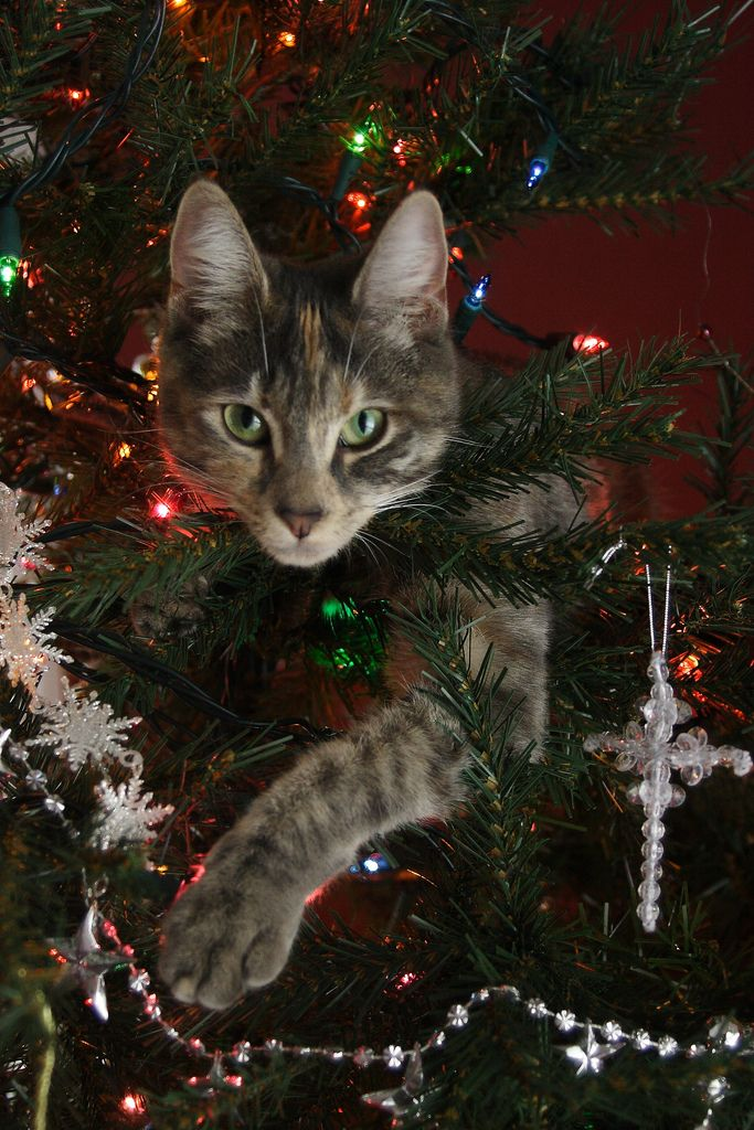 I don't always climb up the Christmas tree. But when I do I make sure I stop & pose just like this.
