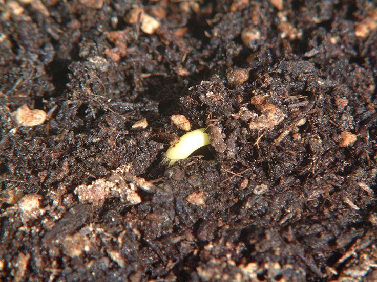 Snapshot RL 柿 -1 http://stepaya.blogspot.jp/2015/01/snapshot-rl-kaki-1.html 昨年食べて美味しかった柿の種をまいてみた。 そして今日、茎が見えた。まだ双葉は見えてない^^
