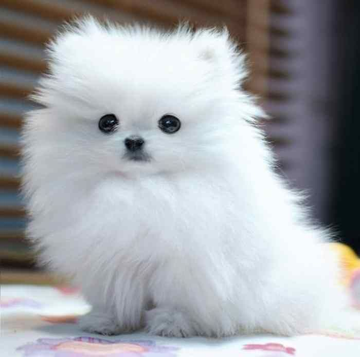 white fluffy dog breeds Love Fuzoul Pinterest