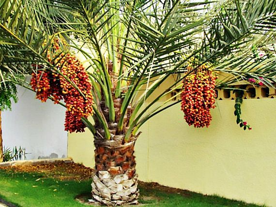 Kebun Kurma Di Binjai