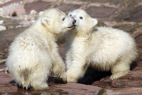 Kisses for you by Daniel KarmannAnimal Pics, Daniel Karmann, Cute Animal, Cute Baby, Bears Hug, Polar Bears, Baby Polar, Baby Animals, Baby Bears
