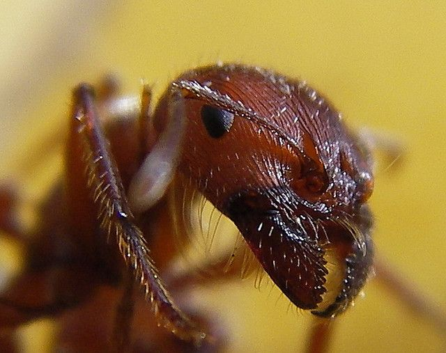 The Schmidt Sting Pain Index: How Much Could You Take? ~ The Ark In Space -Red Harvester Ant