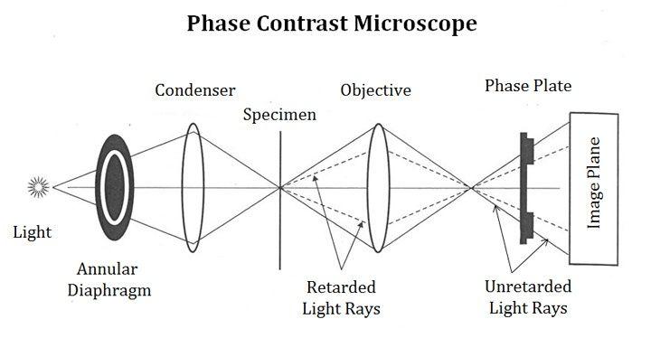 Light Path In Phase Contrast Microscope Microscopic Contrast Microscopy